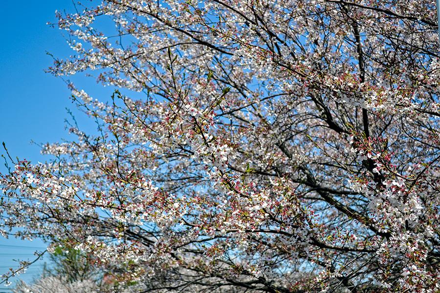 2014.04-近所の桜1