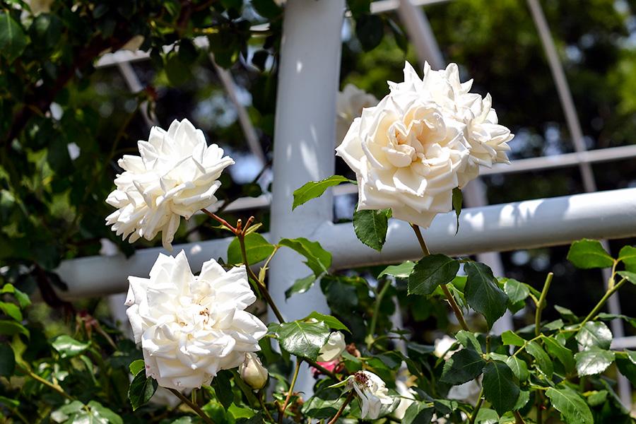 平塚総合公園 -花-06