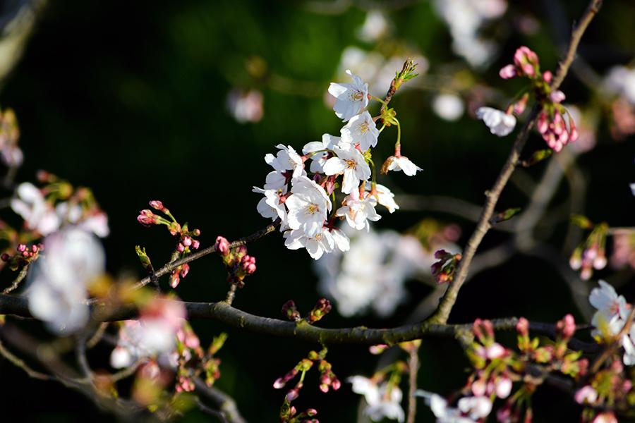 矢那川 桜11