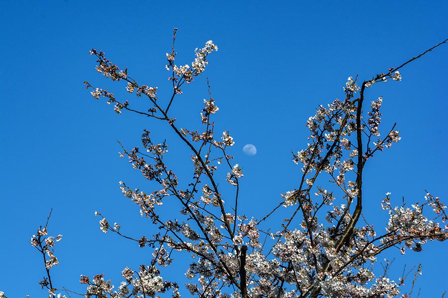 矢那川 桜13