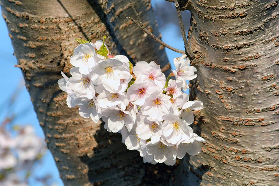 矢那川 桜14
