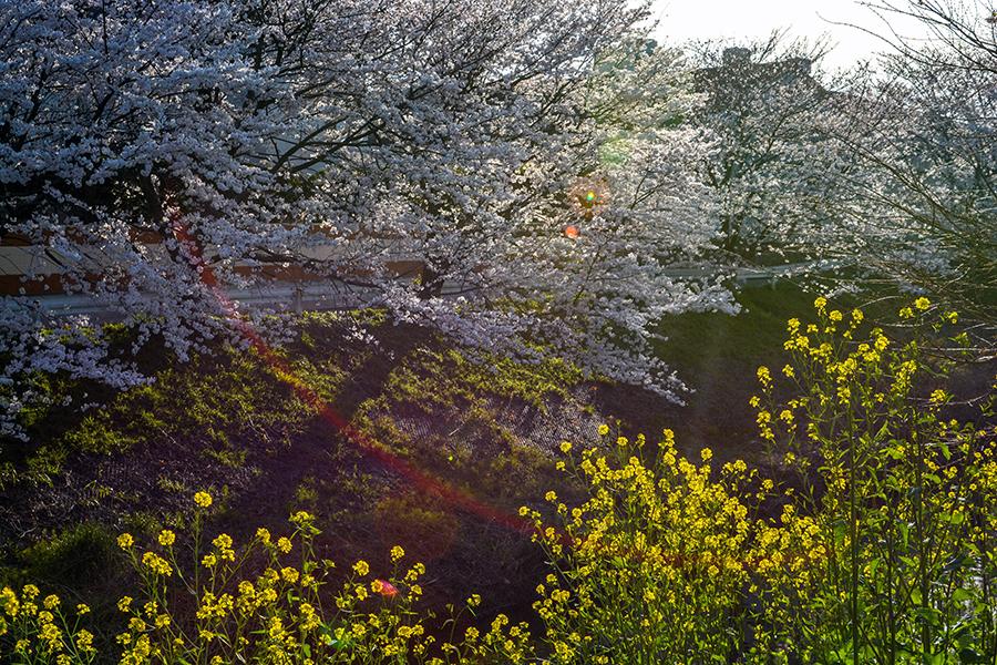 矢那川 桜15