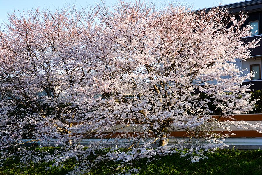 矢那川 桜17