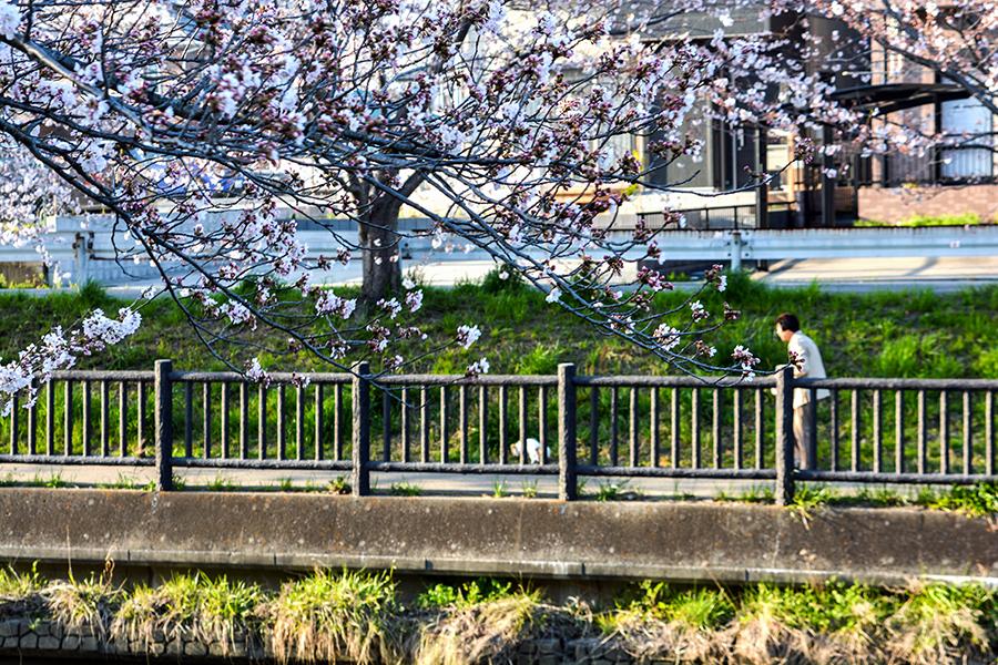 矢那川 桜18