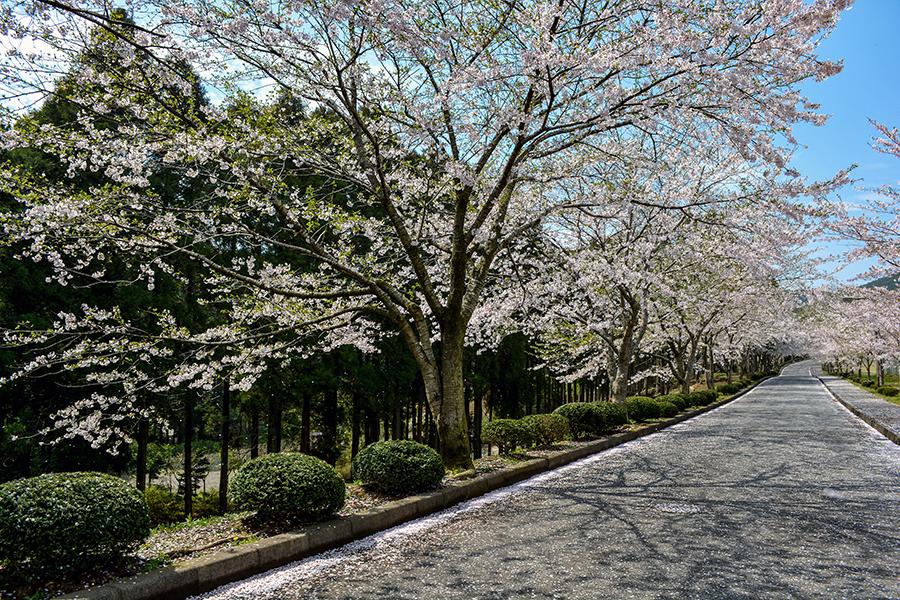 山滝野 桜05