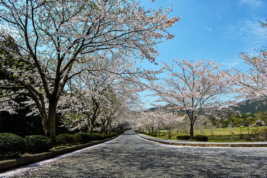 山滝野 桜06