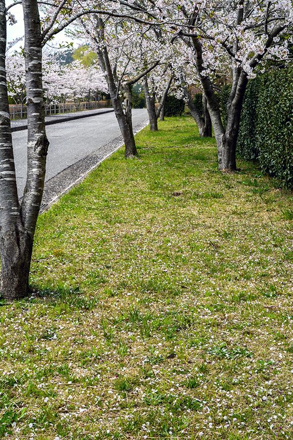山滝野 桜15