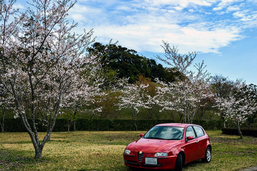 山滝野 桜17