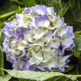 2015.06 – 鴨川市 -紫陽花-(1)