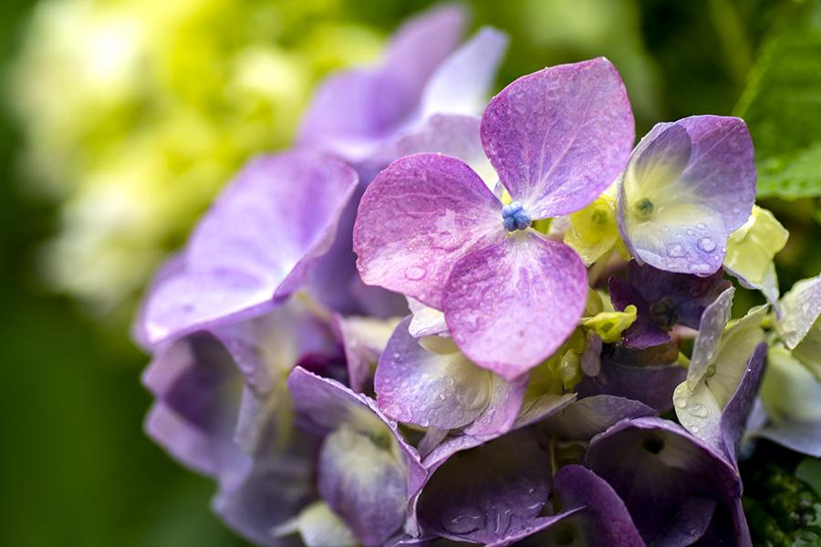 紫陽花08