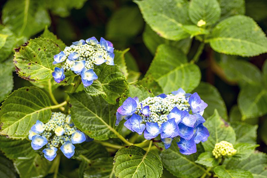 紫陽花34