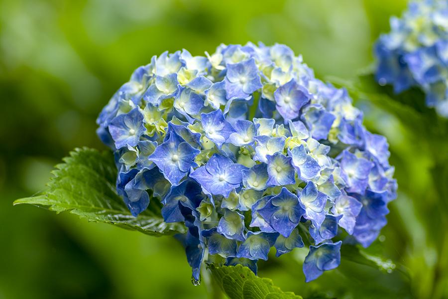 紫陽花38