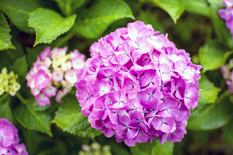 紫陽花43